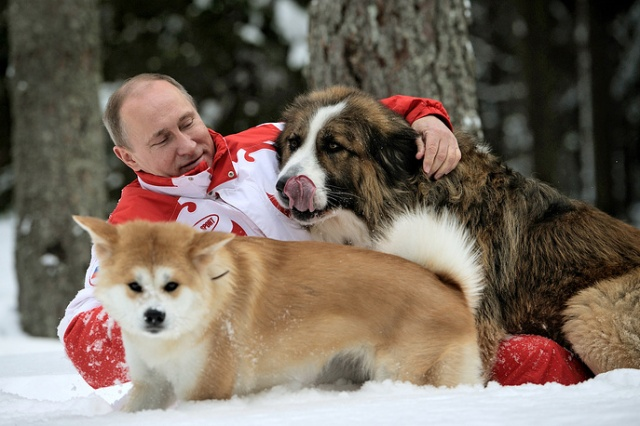 ITAR-TASS: MOSCOW REGION, RUSSIA. Pictured in this image dated 24 March 2013 is Russia's president Vladimir Putin taking his dogs, akita Yume (front) and Bulgarian shepherd Buffy, for a walk in a snowy forest outside Moscow. (Photo ITAR-TASS / Alexei Druzhinin) Ðîññèÿ. Ìîñêîâñêàÿ îáëàñòü. 10 àïðåëÿ. Ïðåçèäåíò Ðîññèè Âëàäèìèð Ïóòèí âî âðåìÿ ïðîãóëêè ñî ñâîèìè ñîáàêàìè áîëãàðñêîé îâ÷àðêîé Áàôaè è àêèòà-èíó Þìý. Ôîòî ÈÒÀÐ-ÒÀÑÑ/ Àëåêñåé Äðóæèíèí/ ñúåìêà îò 24 ìàðòà 2013 ãîäà